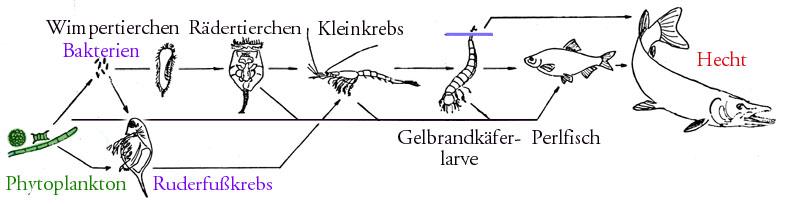 Schematisches Nahrungsnetz in einem europäischen See (ohne Destruenten) Quelle: Wikipedia