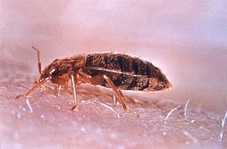 Blutsauger: Bettwanze - Quelle: Wikimedia