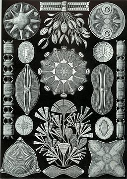 Kunstformen der Natur (1904), Tafel 84 - Quelle: Ernst Haeckel [Public domain], via Wikimedia Commons