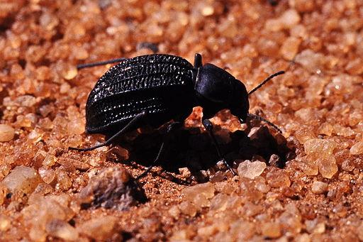 Nebeltrink-Käfer