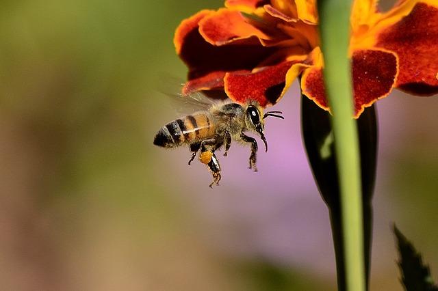 Biene im Anflug - Quelle: Pixabay