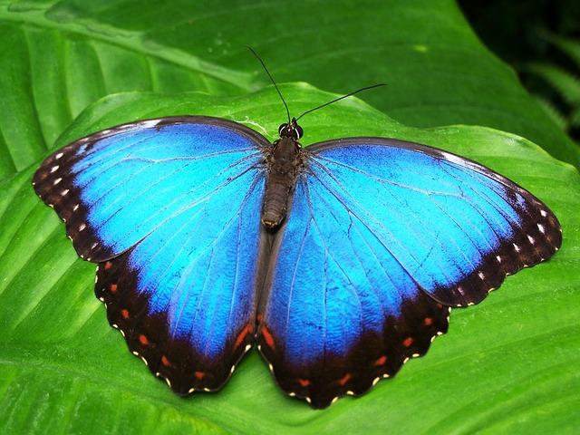 Blauer Morphofalter, Quelle: Pixabay