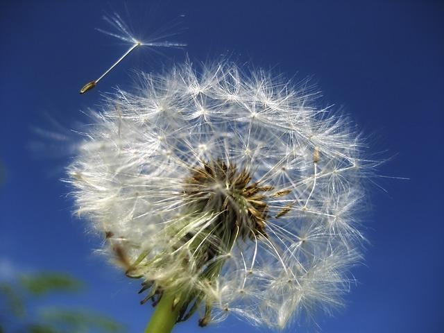 Pusteblume - Vorbild für den Fallschirm, Quelle: Pixabay