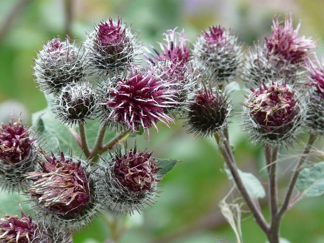 Blüten der Wollkopf-Kletten - Quelle: Pixabay