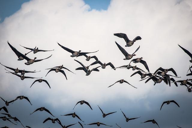 Vogelschwarm (Gänse) - Quelle: Pixabay