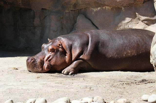 Nilpferd beim Sonnenbaden im Zoo - Quelle: Pixabay