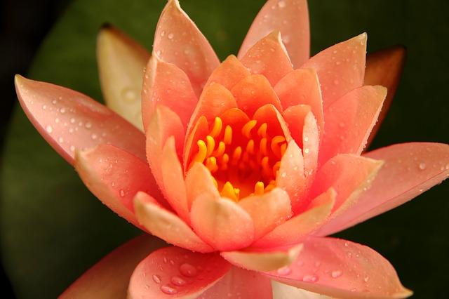 Lotusblüte - Quelle: Pixabay