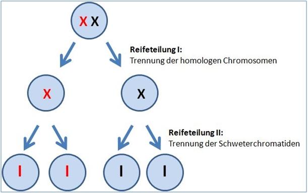 Meiose - geschlechtliche Vermehrung ©Martina Rüter