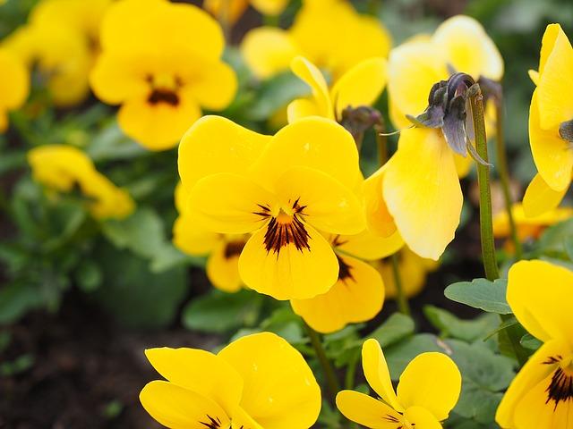Gelbe Galmeiveilchen (Stiefmütterchen) - Quelle: Pixabay
