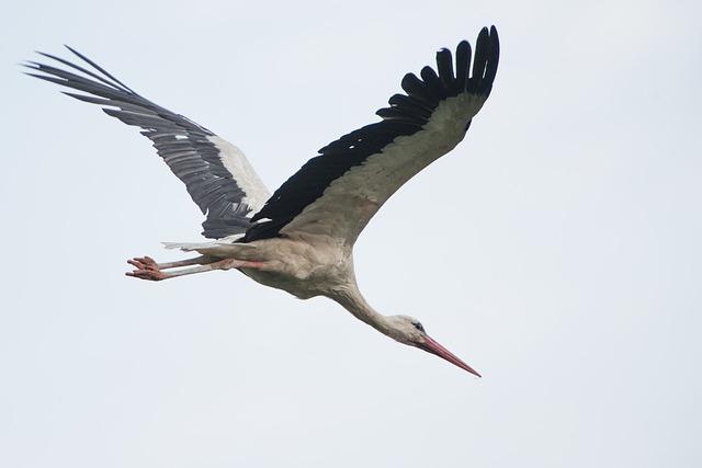 Fliegender Storch - Quelle: Pixabay